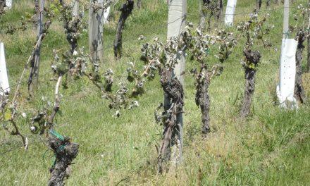 Vinska klet P&F Jeruzalem poroča o nastali škodi zaradi pozebe vinogradov