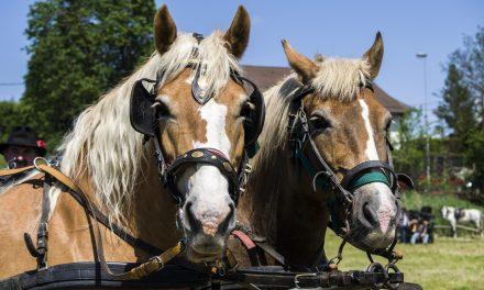 PRVO tombolo odnesla sedemletna Ana (Z drugega mednarodnega srečanja kočijažev in konjenikov na Grabah)