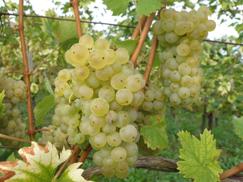 """Nocojšnja  kmetijska oddaja  """"Med polji in vinogradi"""" ob 20.uri prinaša utrinke s trgatve pri Igorju Leskovarju"""
