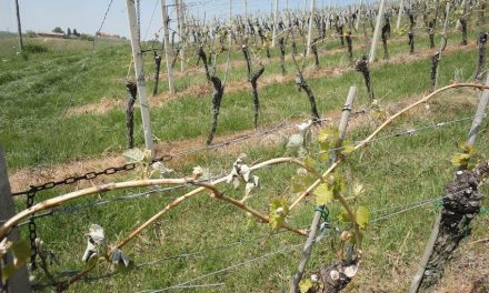 Klet P&F Jeruzalem ponovno prizadela pozeba vinogradov