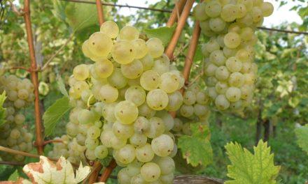 V kleti Puklavec Family Wines (P&F Jeruzalem) bodo zaradi suše s trgatvami začeli že avgusta