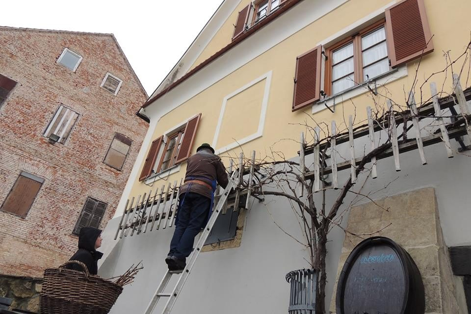 Včeraj je na Svetinjah potekal rez potomke najstarejše vinske trte…