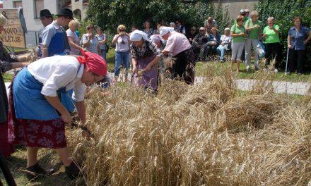 """ŽETEV 2018 v Središču ob Dravi: Poželi pšenico posejano v okviru projekta """"Zlata zrna za novo tisočletje"""""""