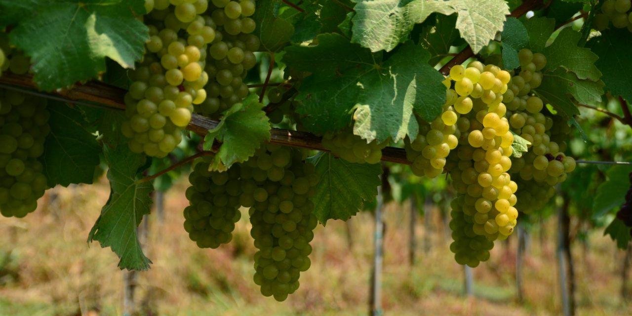Puklavec Family Wines jutri (20. avgusta) pričenja s trgatvijo