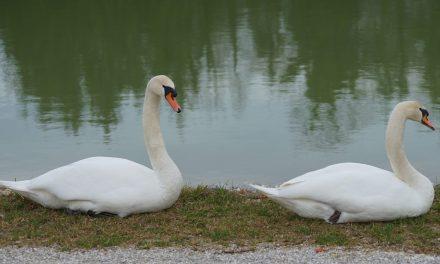 Ormoški ribnik ima nova prebivalca
