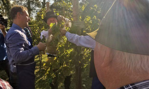 Druga trgatev v ormoškem mestnem vinogradu še en prijeten dogodek sredi mesta